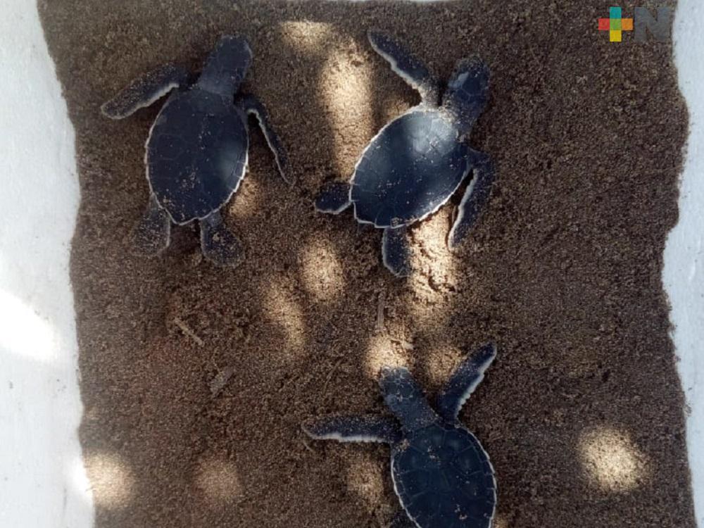 Habitantes de la comunidad de Guillermo Prieto, testigos del nacimiento de 80 tortugas