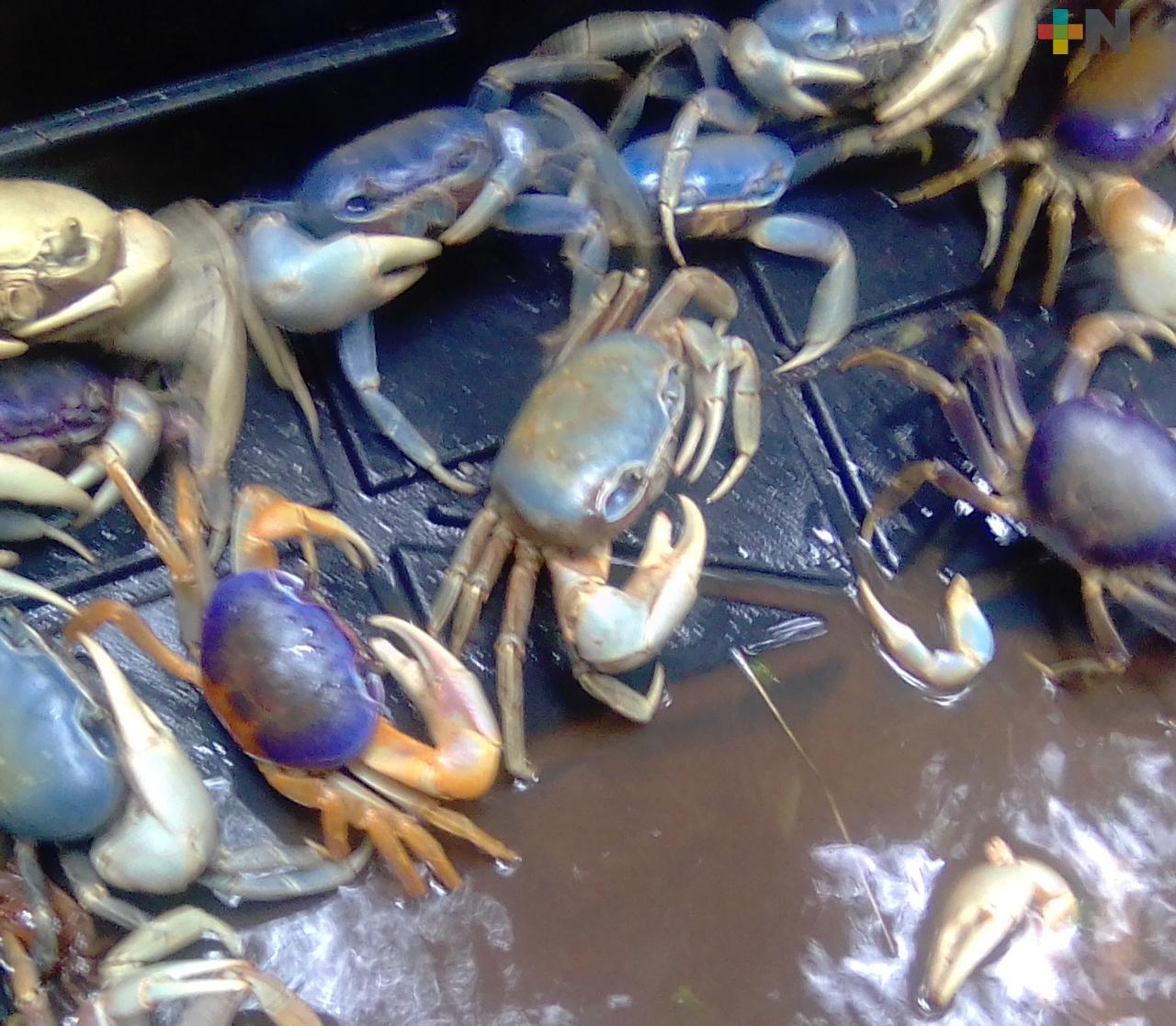 Protejen al cangrejo azul en la carretera Boca del Río – Antón Lizardo