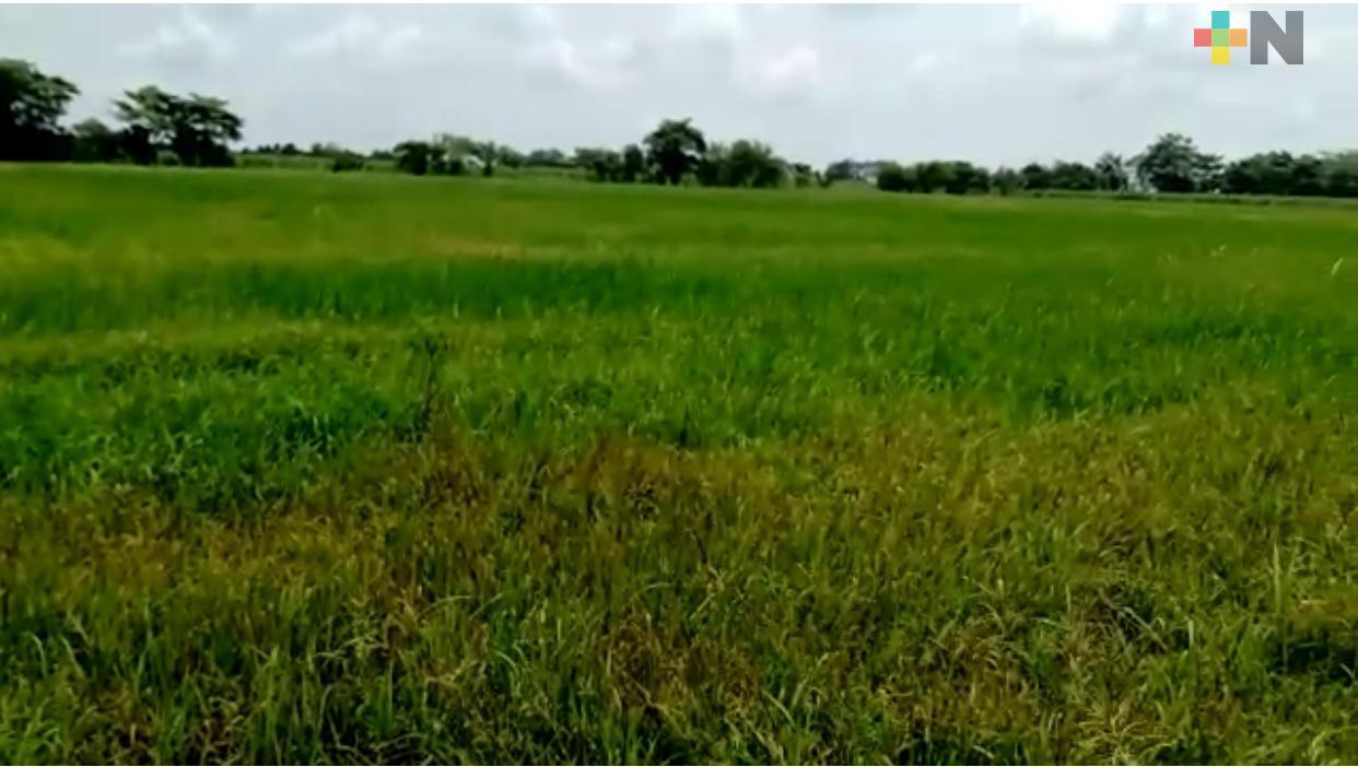 Arroceros esperan buena cosecha en la cuenca