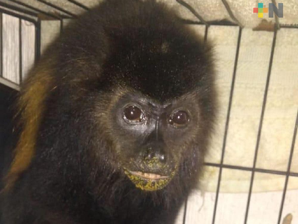 Organización CEPAC, rescata  hembra de mono aullador abandonada en playas de Coatzacoalcos