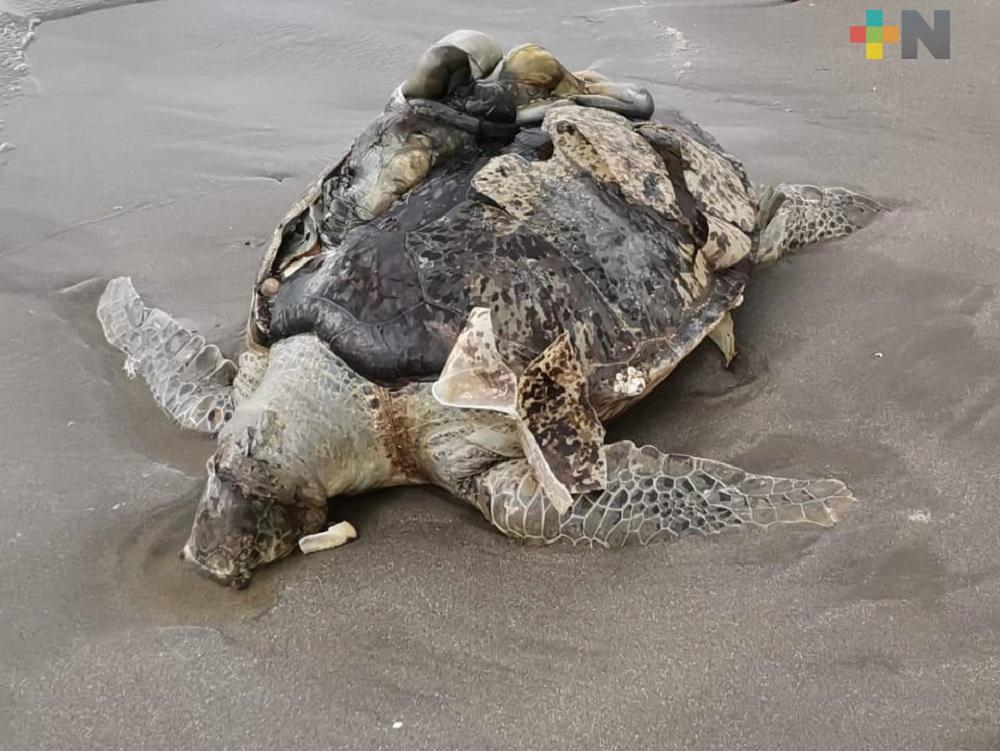 Bañistas hayan sin vida a tortuga en playa de Boca del Río