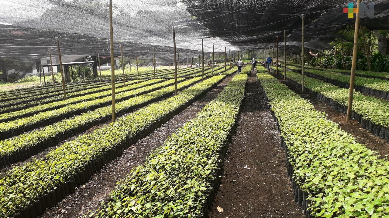 Producción para Sembrando Vida en Veracruz llega al 75% de su meta