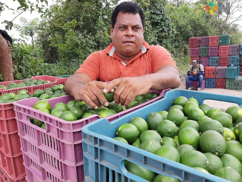 Inicia crisis para el sector limonero en la región de Martínez de la Torre