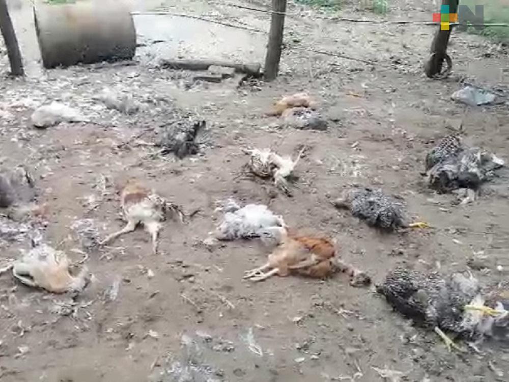 Reportan extrañas muertes de animales traspatio en San Juan Evangelista