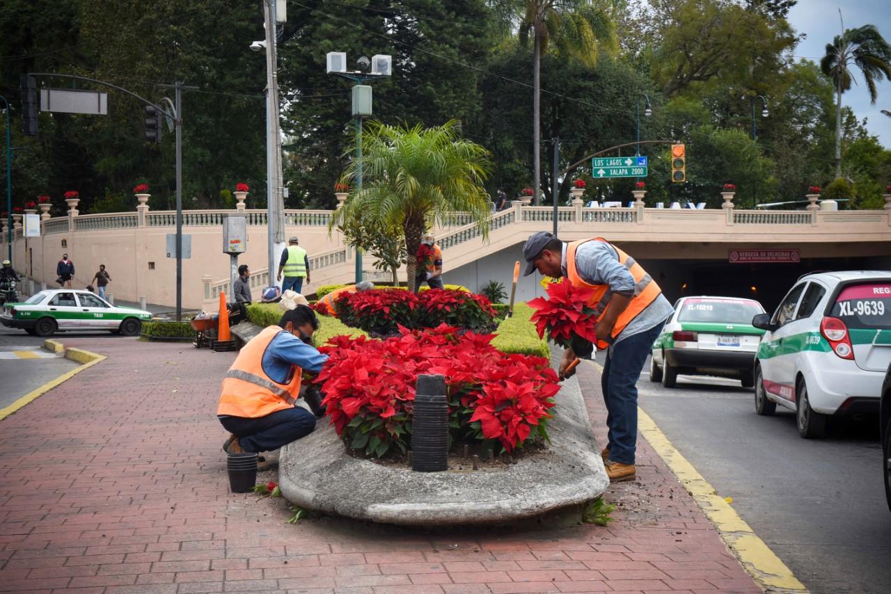 Ayuntamiento de Xalapa coloca flores de Nochebuena  en parques y jardines