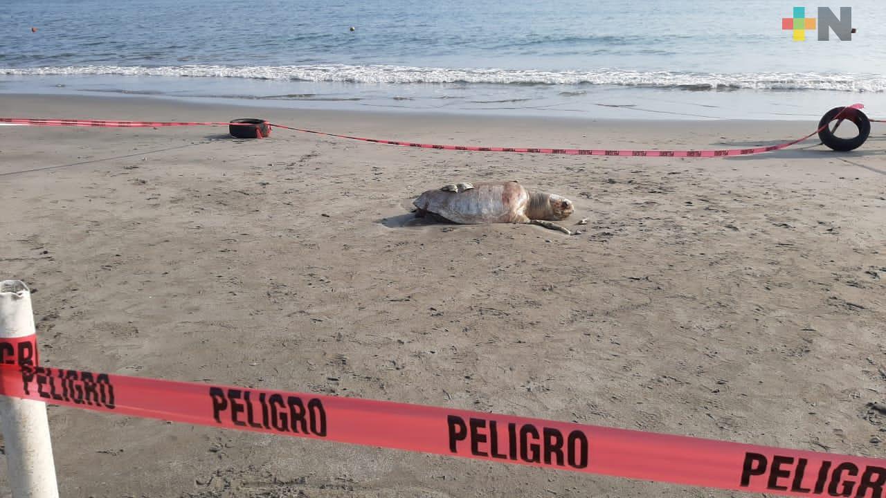 Hallan tortuga muerta en playa Martí de Veracruz