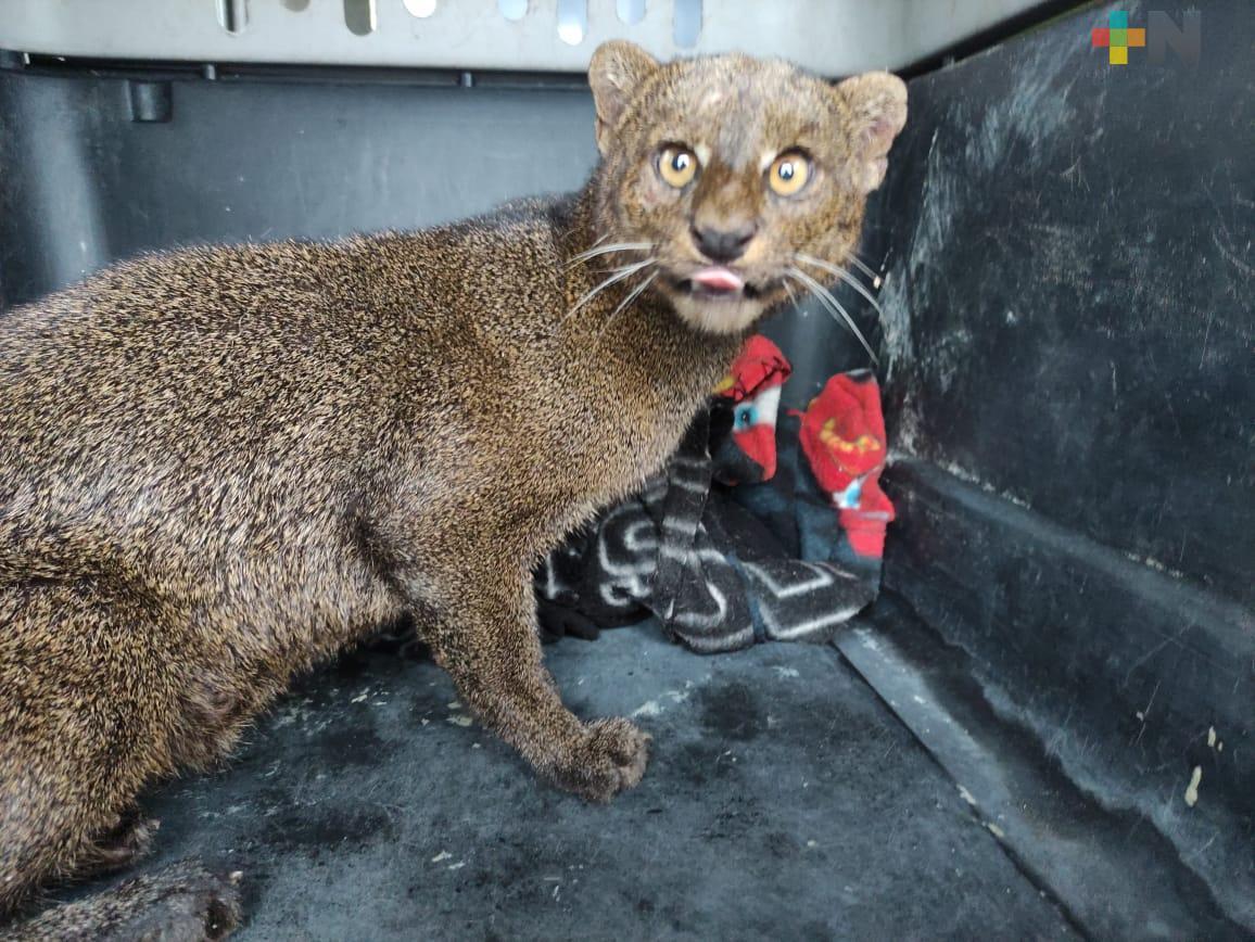 Continúa bajo observación el  jaguarundi rescatado en el municipio de Alvarado