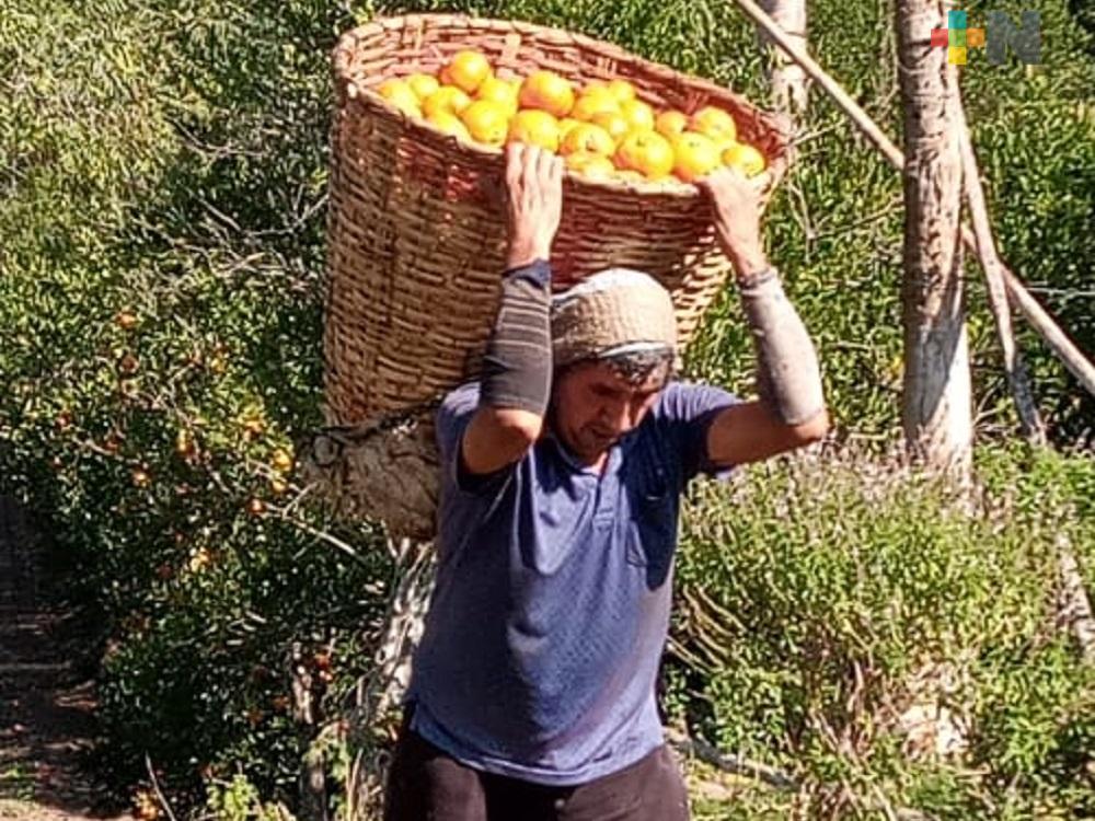 En Martínez de la Torre, aumenta actividad de citricultura