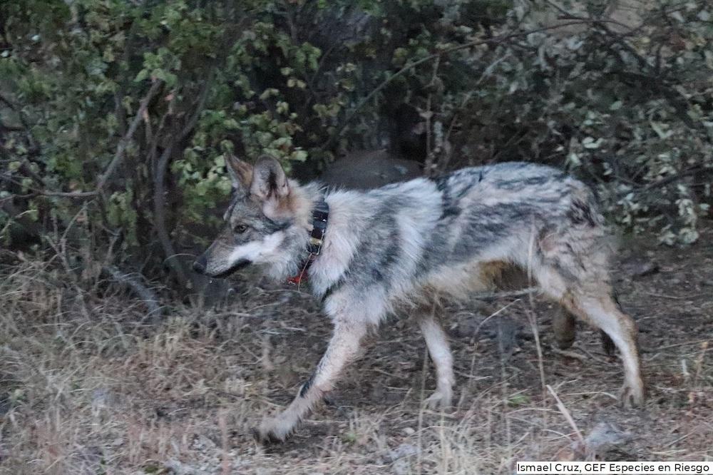 A finales de 2020, Conanp realizó liberaciones de lobo mexicano en Chihuahua