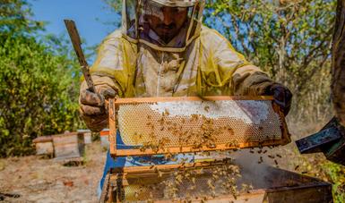 Reduce Agricultura impacto negativo de la africanización de las abejas en el país