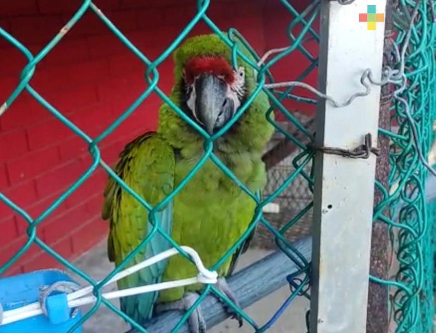 Protección Civil de Coatzacoalcos resguarda a guacamaya verde