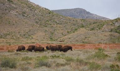 Semarnat no ha autorizado permisos para caza de Bisonte Americano