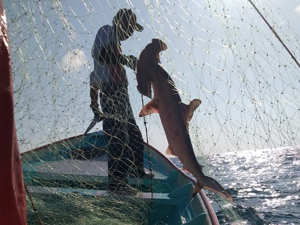 Disminuyen tiburones y rayas pese a esfuerzos de conservación
