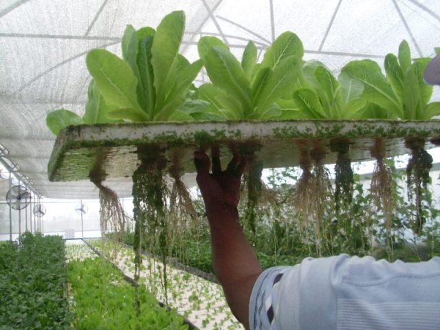 Descubre todo sobre la hidropon a en veracruz agropecuario for Imagenes de hidroponia