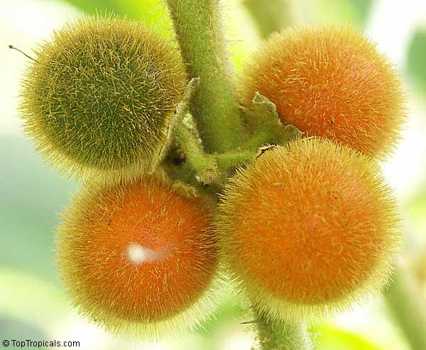 Cultivo de Lulo, una fruta exótica  RADIOMÁS