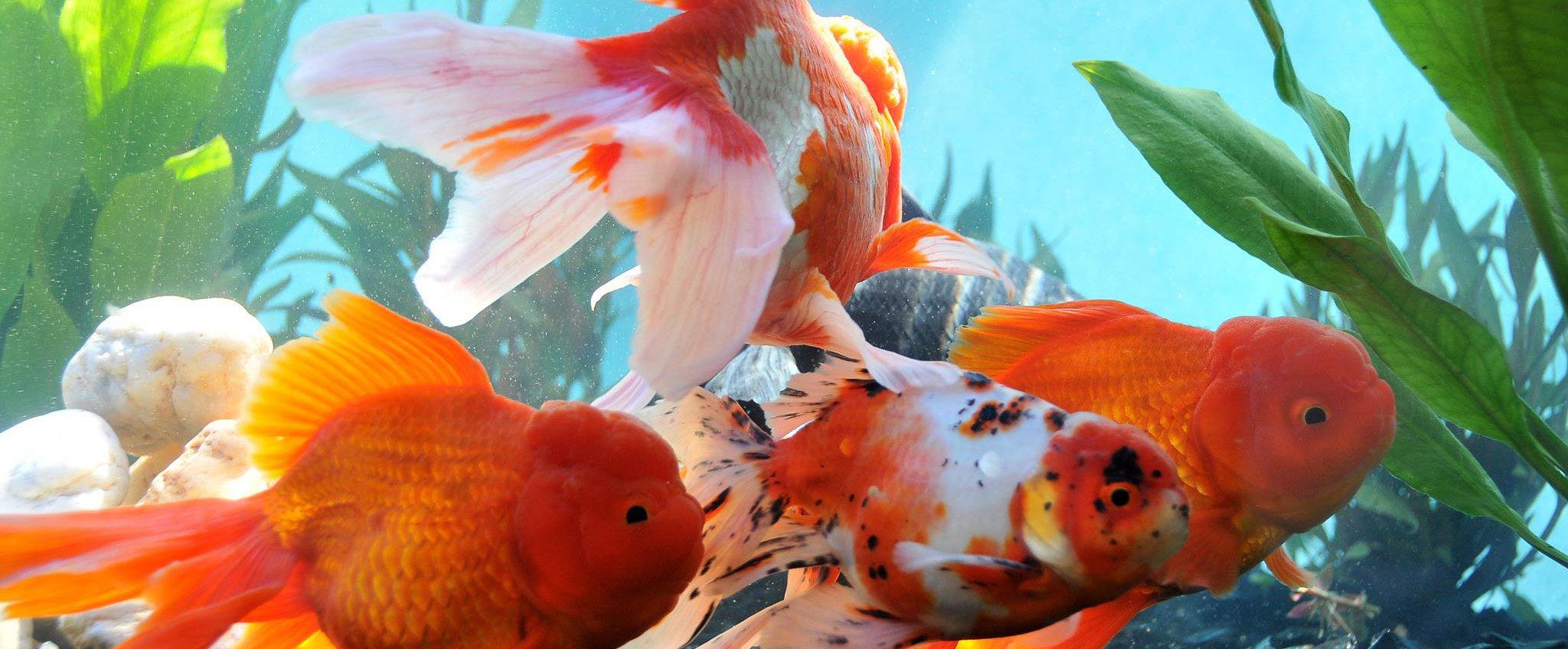 Producci n de peces de ornato radiom s for Como criar peces en casa para consumo