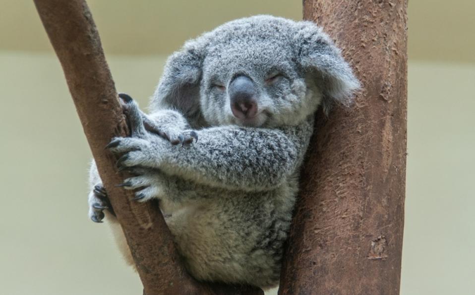 """Los Koalas están """"funcionalmente extintos"""" en Australia"""