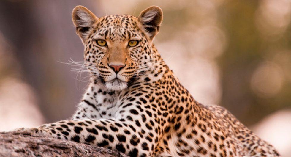 Encuentran al Leopardo más extraño en Sudáfrica, conocido como Leopardo de Fresa