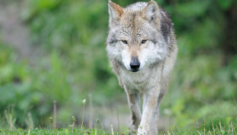 Salvan a Lobo Mexicano de la extinción