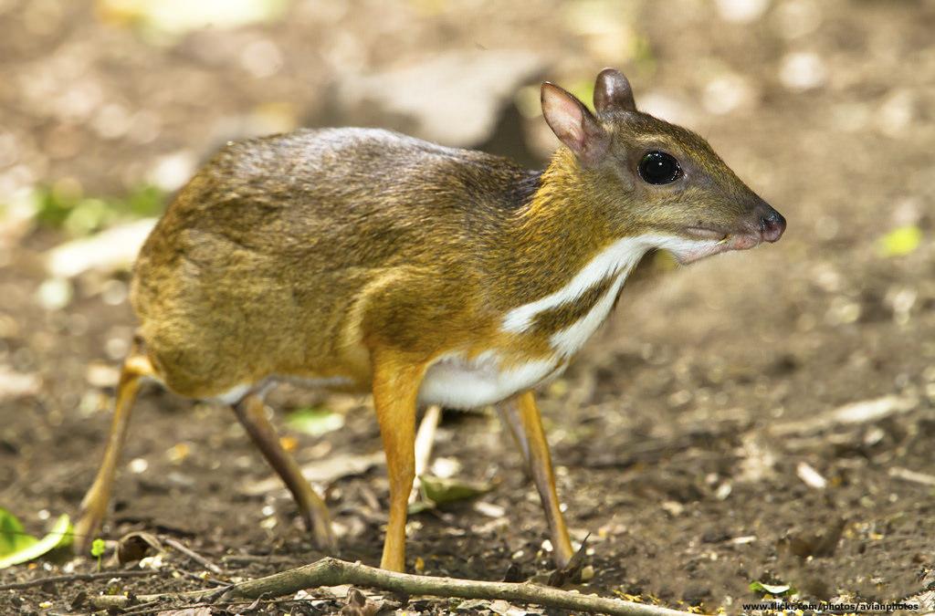 Descubren al ciervo ratón, animal que se creía extinto desde hace 30 años | VIDEO