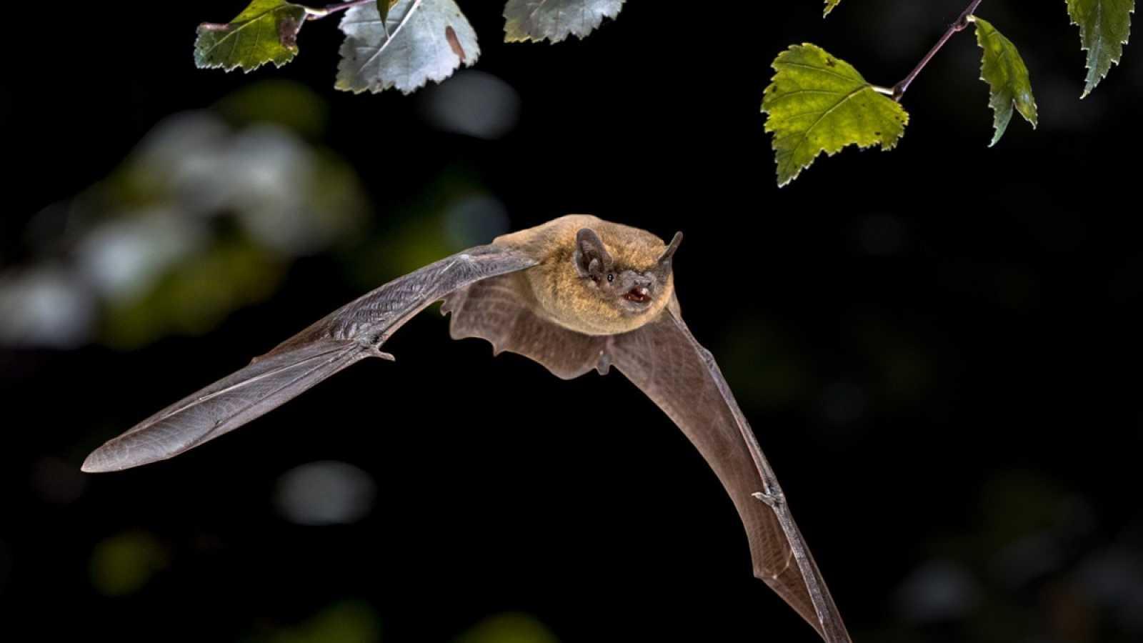 Los murciélagos, las otras víctimas del coronavirus