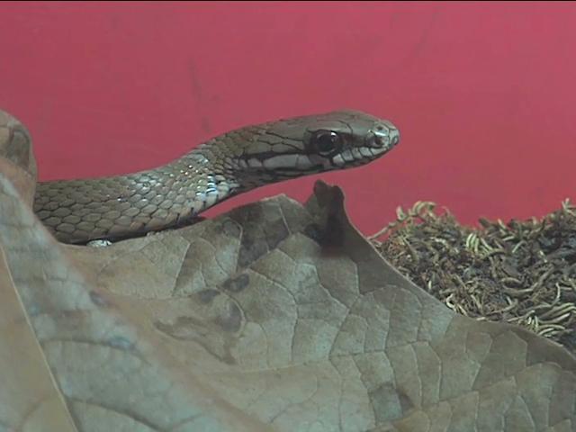 Autoridades de Coatzacoalcos alertan sobre presencia de víboras y serpientes en zona de playa