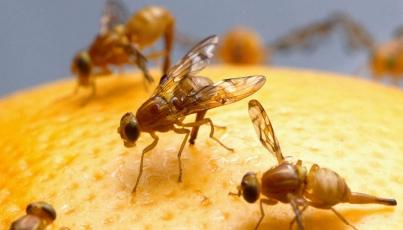 Permite la mosca de la fruta medir remedios contra diabetes