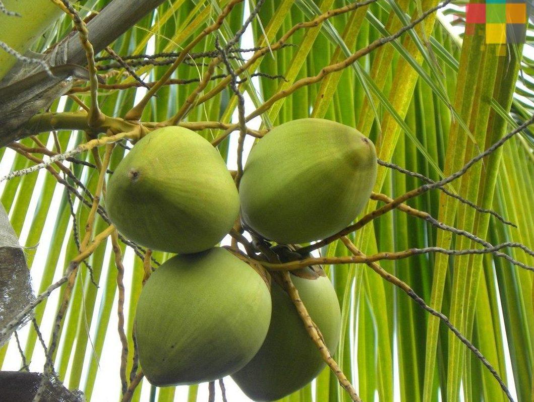 Incluirán la siembra de coco en el programa Sembrando Vida