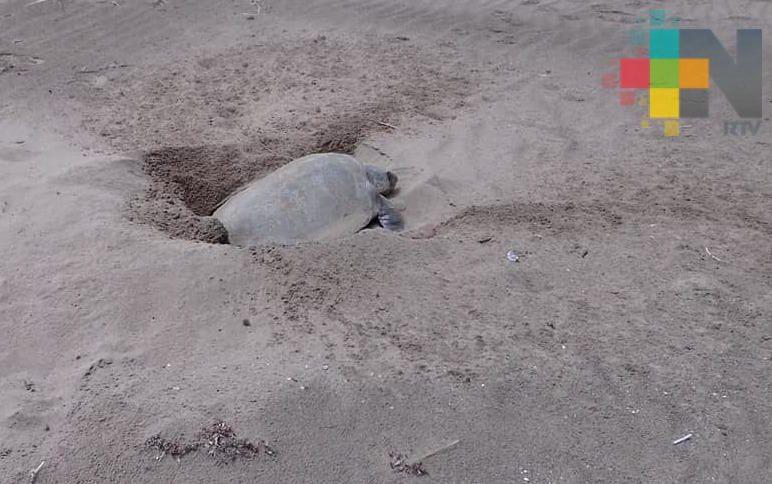 Tras retiro de chapopote, llegaron a desovar tortugas a playas de Tecolutla