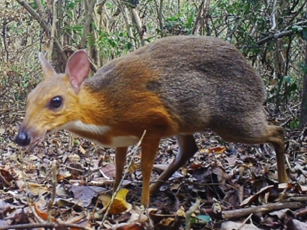 Reportan avistamiento de ciervo ratón que se creía extinto en Vietnam