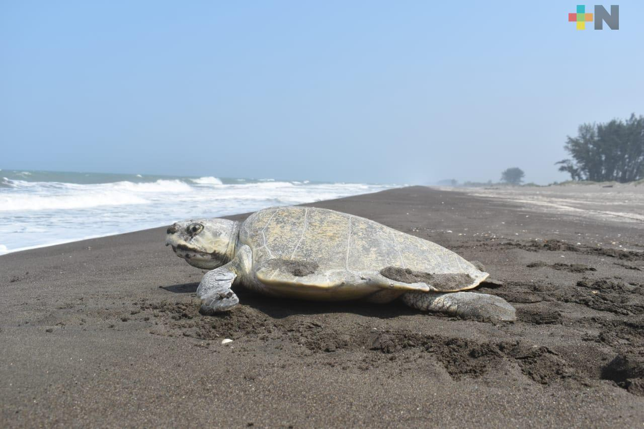 Tortugas marinas seguirán llegando a costas veracruzanas hasta octubre
