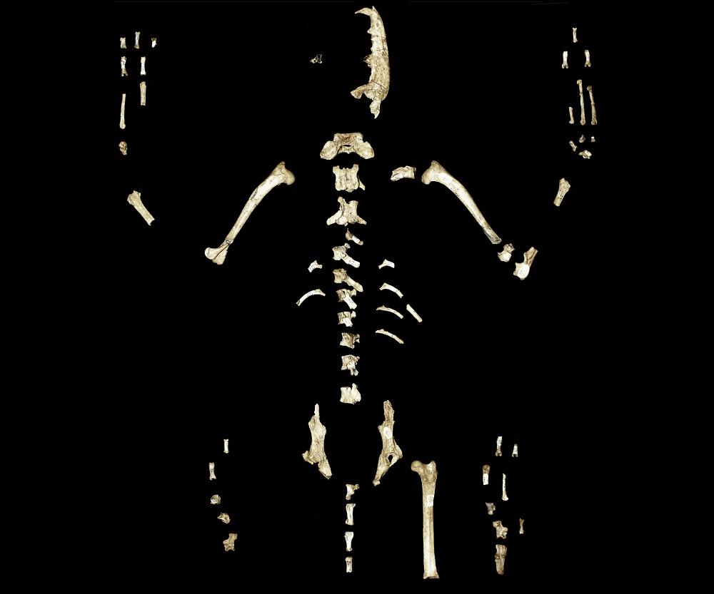 Redescubren zorro fosilizado con novedosas características morfológicas