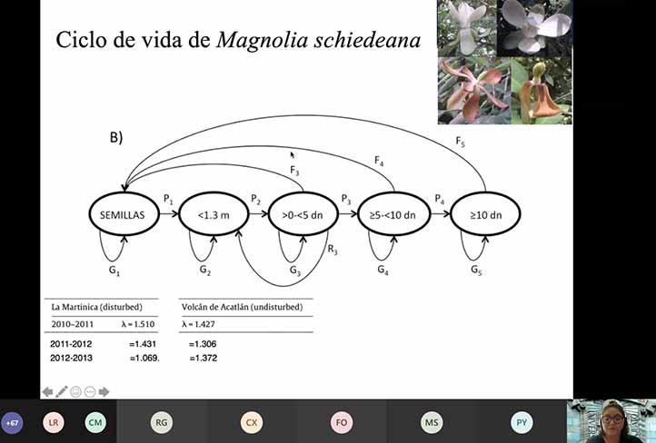 Magnolia schiedeana, fósil viviente