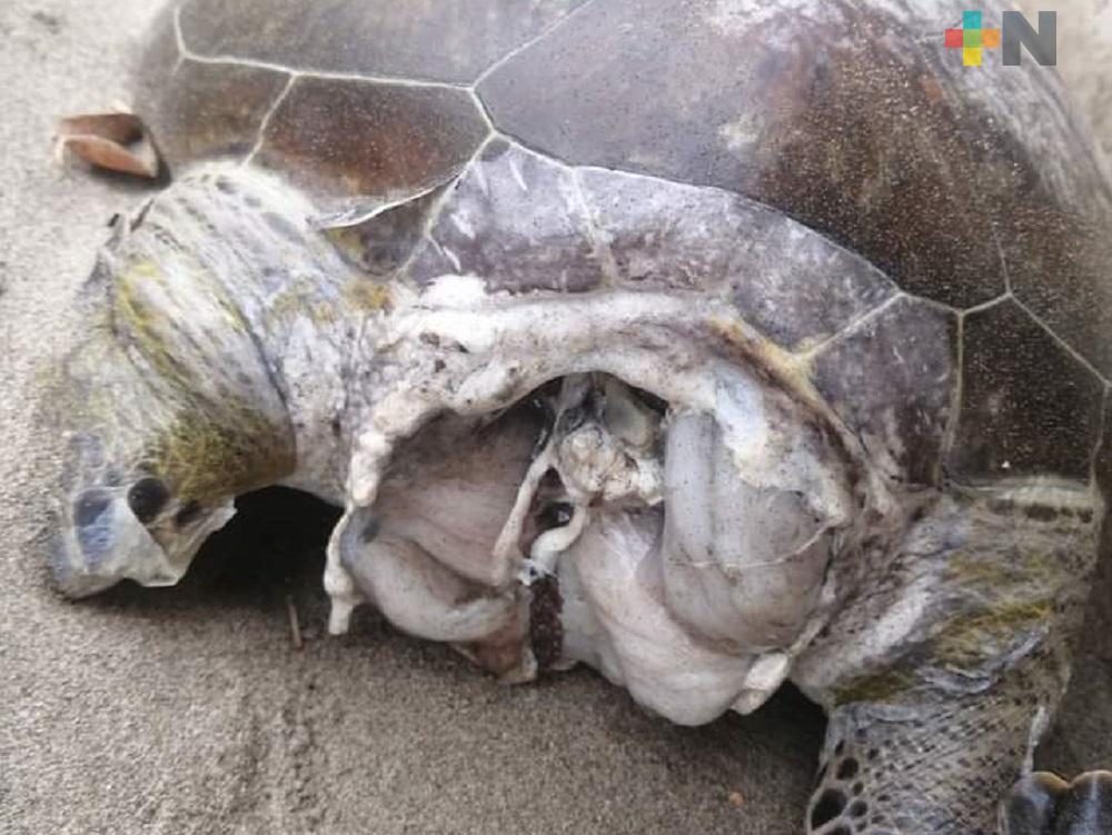 De nueva cuenta aparece, sobre playas de Coatzacoalcos, tortuga marina sin vida