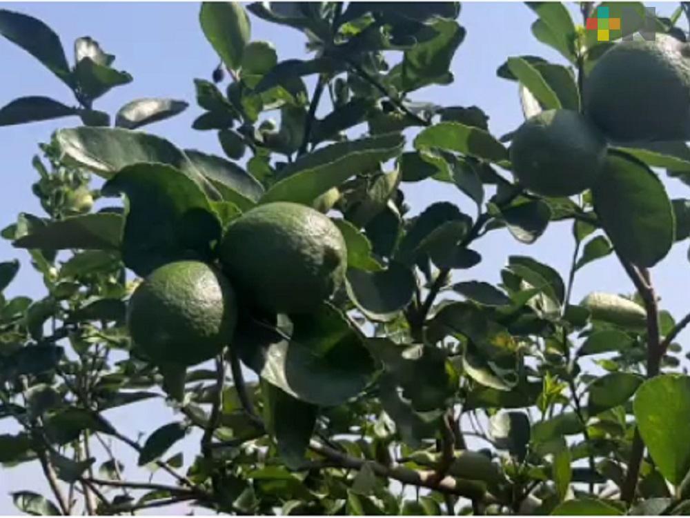 Limón orgánico con mejores beneficios para los productores