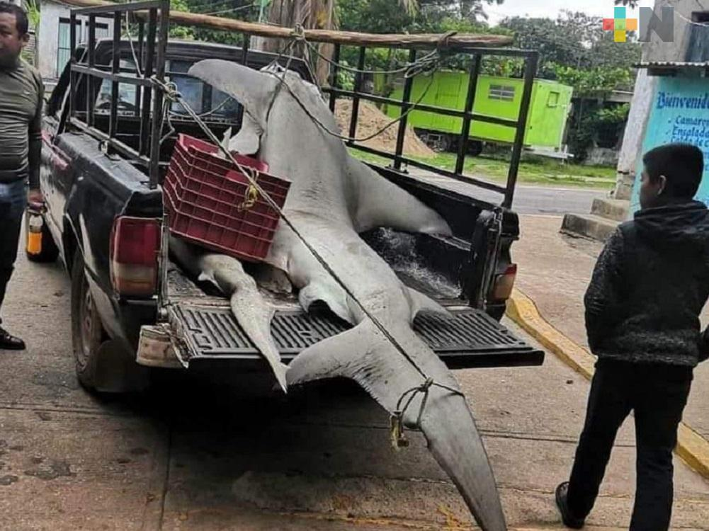 Pescadores de Pajapan capturaron tiburón martillo de más de 3 metros; se analizará si tenían permiso