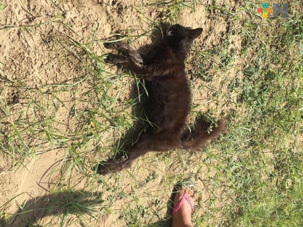 Sin aplicar Ley de Protección Animal en Coatzacoalcos, continuará envenenamiento de mascotas: Amedea