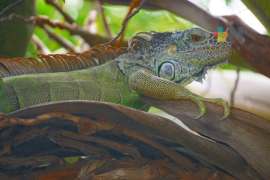 Extreman protección de iguanas en Tuxpan