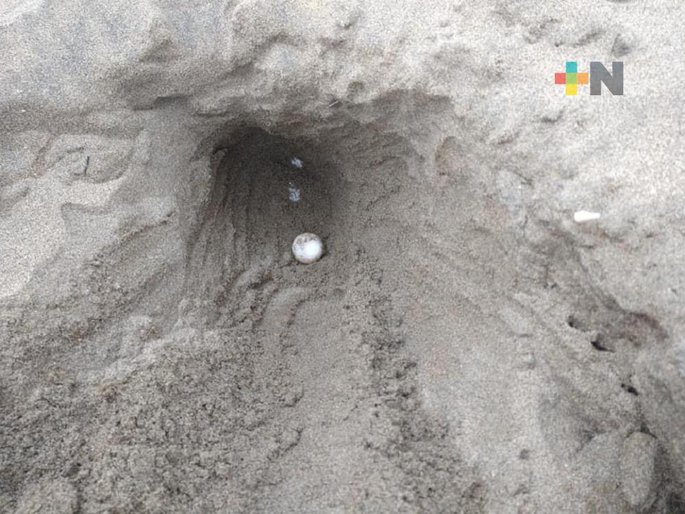 Inició el arribo de tortugas marinas a Coatzacoalcos