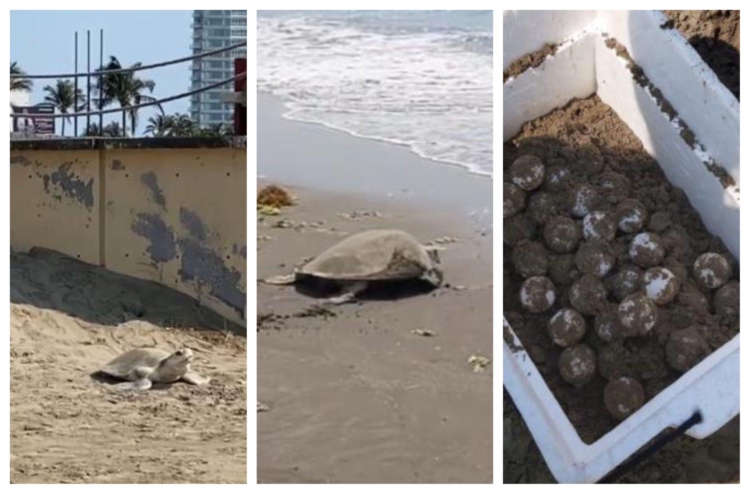 Tortuga marina depositó 92 huevos en playa Pelícanos de Boca del Río