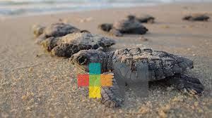 Programan liberación de tortugas en playas Barra Norte y Sur