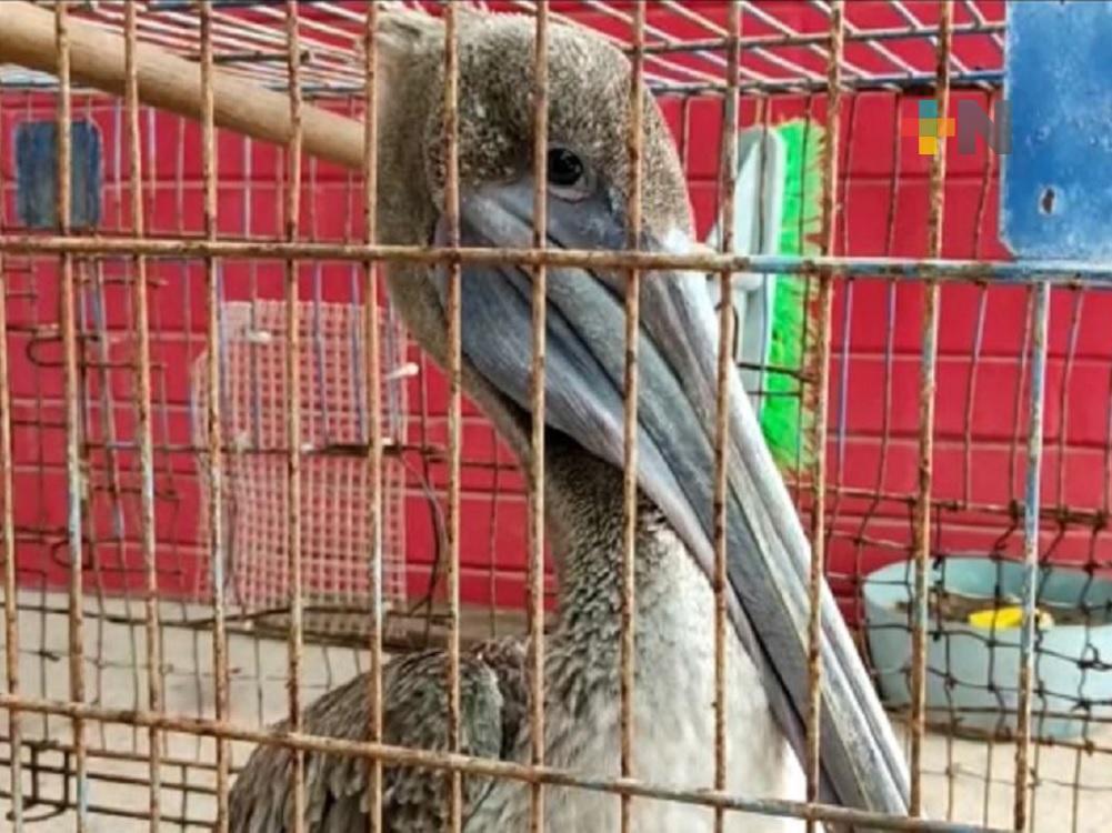 Rescatan en playas de Coatzacoalcos a pelicano lesionado de sus alas
