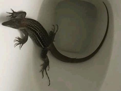 Reptil que salió de la taza de baño de una casa, provocó susto en Alvarado