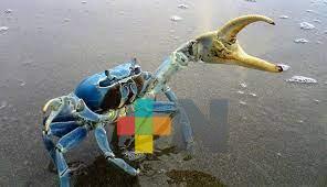 Inician jornadas de protección al cangrejo azul