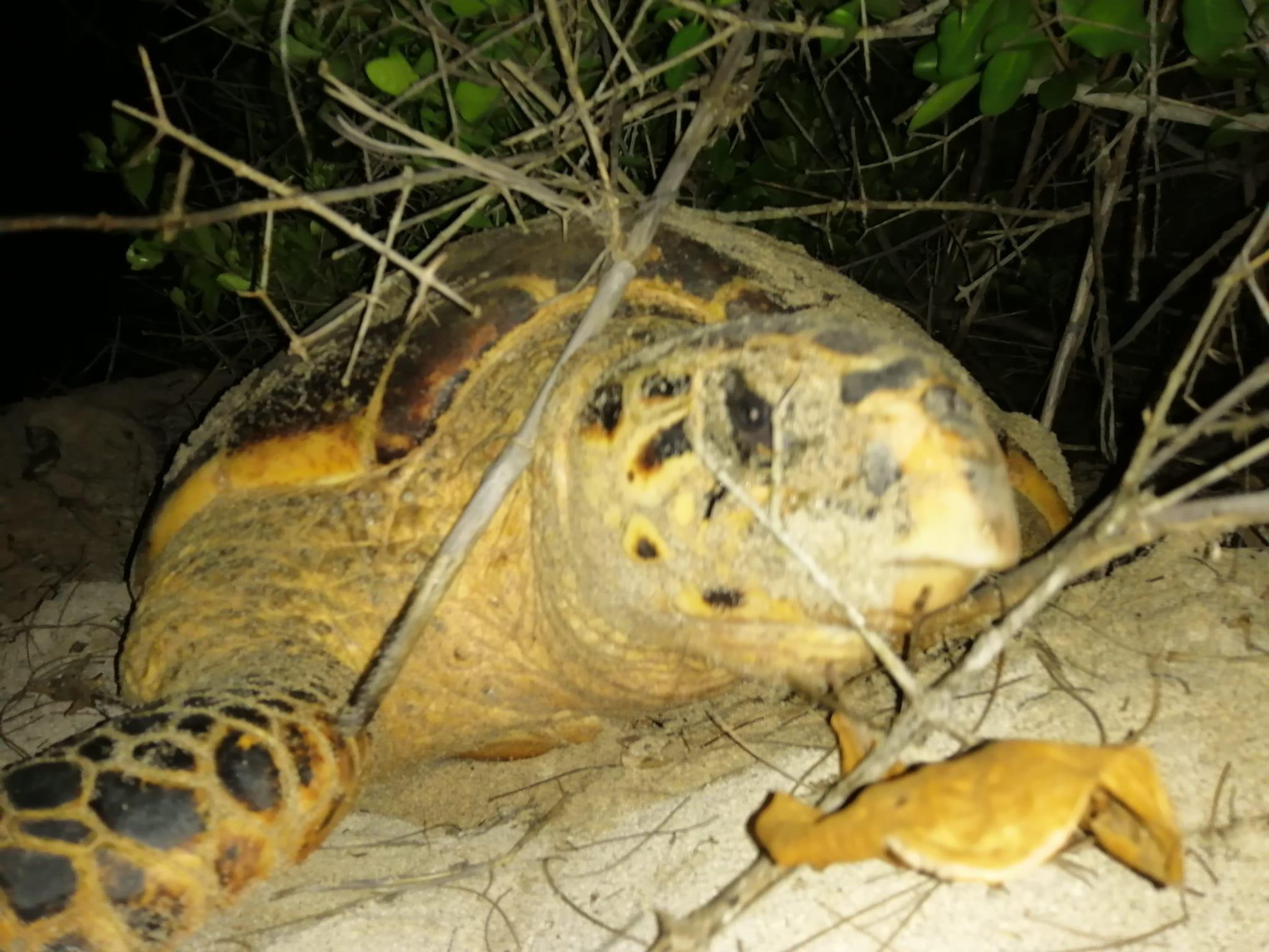 Contabilizan más de 50 nidos de tortuga carey en Sistema Arrecifal Veracruzano