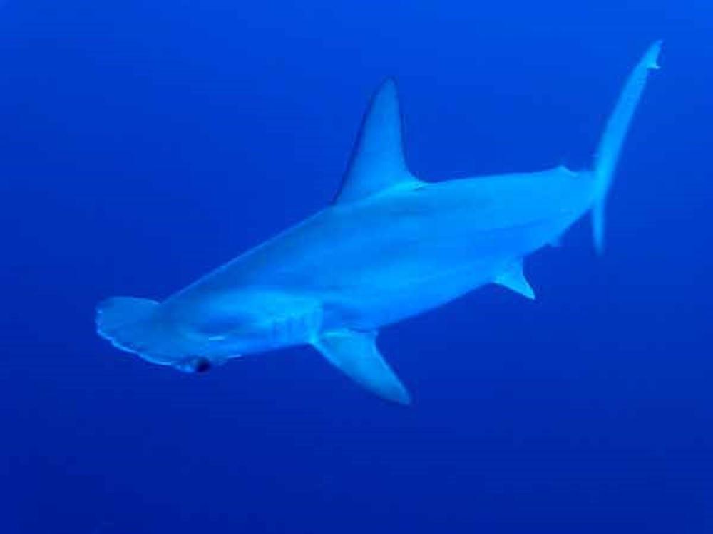 Vértebras de tiburón martillo revelan sus viajes