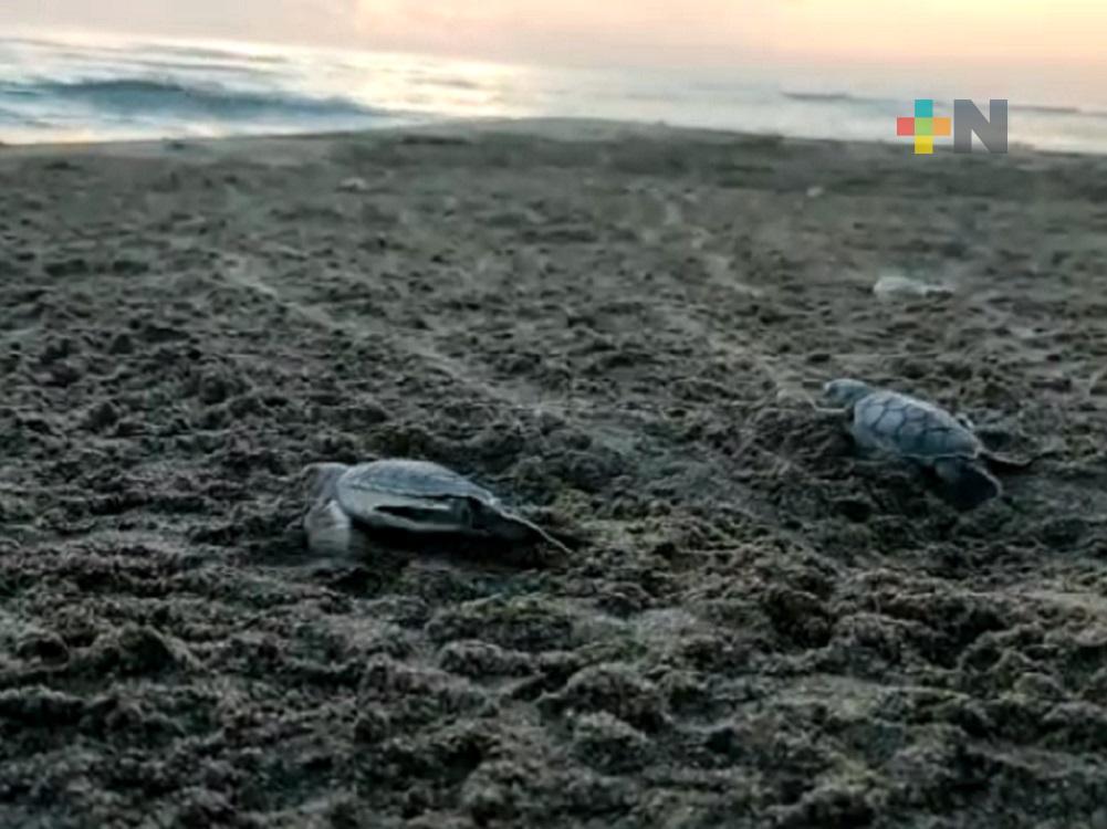 Desde hace más de 50 años, Fundación Yepez promueve el cuidado de tortuga marina en Nautla