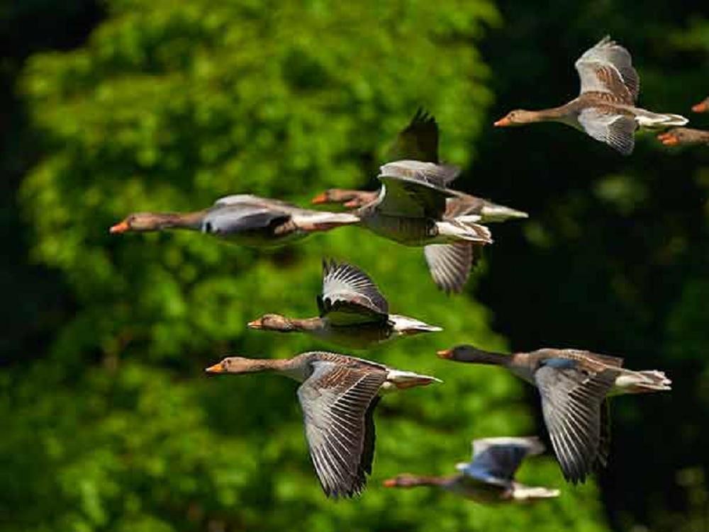 Peligra la migración de las aves