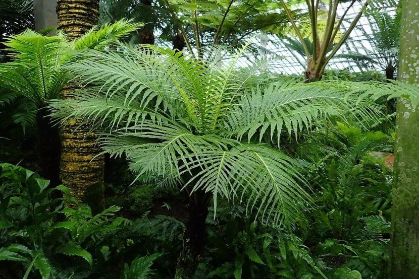 Helechos arborescentes, sobrevivientes desde el tiempo de los dinosaurios